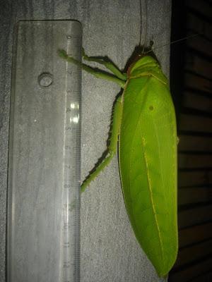 [Orthoptera sp.] ma sauterelle preferee... DSC01649