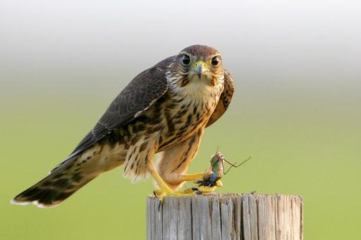 Falconiformes. sub Falconidae - sub fam Falconinae - gênero Falco Falco-columbarius2