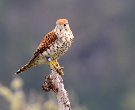 Falconiformes. sub Falconidae - sub fam Falconinae - gênero Falco - Página 2 DSC_7110
