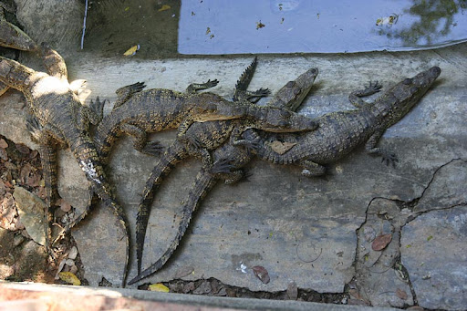 Krokodili Krokodilcici