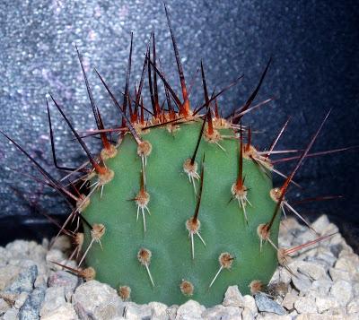 Opuntia fragilis Opuntia%20fragilis%20%27fussen%27