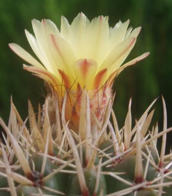 Parodia mammulosa (= Notocactus mammulosus) Notocactus%20submammulosus%202