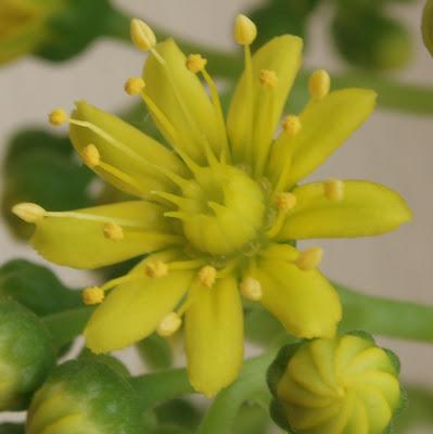 Aeonium arboreum Aeonium%20arboreum%203