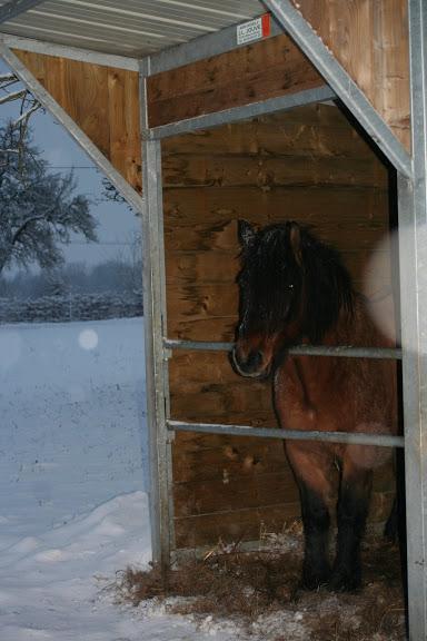 Le  calvados sous la neige... les chevaux s'éclatent! IMG_5056