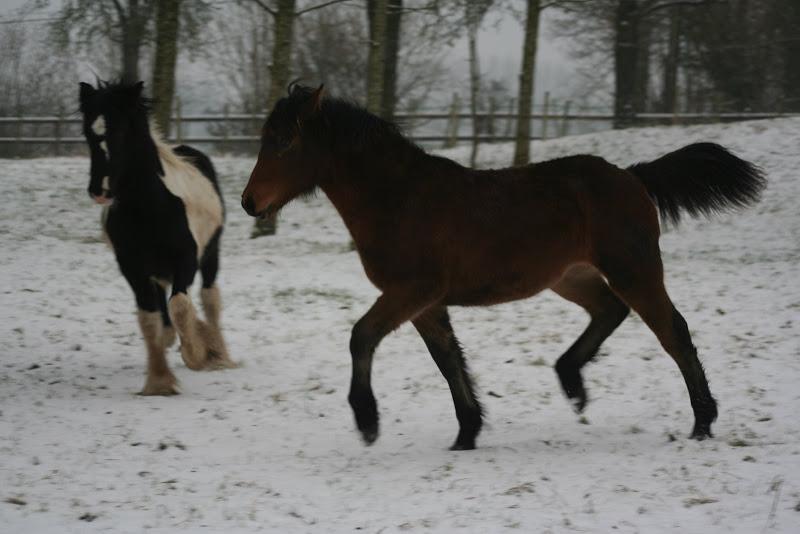 Le  calvados sous la neige... les chevaux s'éclatent! IMG_4992