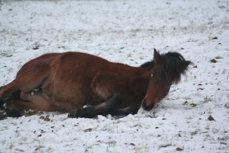 Le  calvados sous la neige... les chevaux s'éclatent! IMG_4931