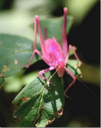 Ditemukan Belalang Pink yang Sangat Langka  2_thumb