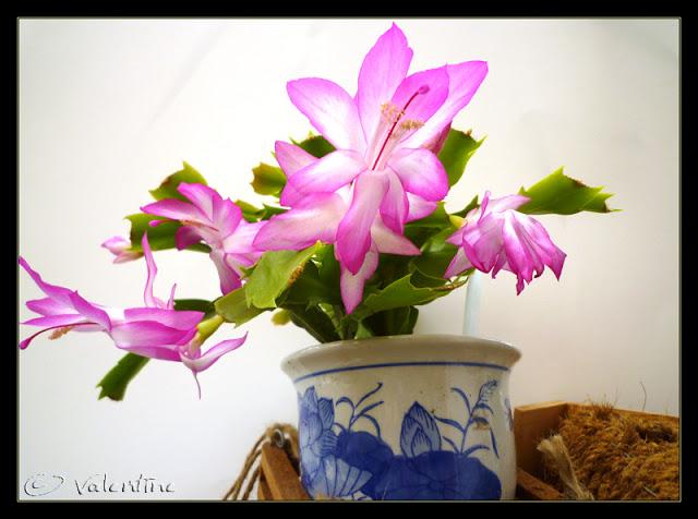 Cactus de Noël rose néon ( Schlumbergera truncata ) CactusNoelRoseNeon10%2003%2030_9RM