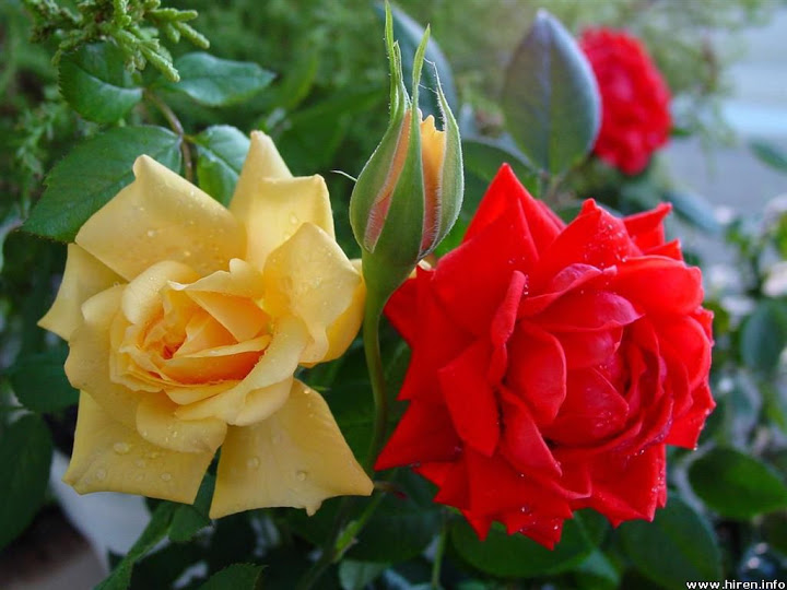 **مساؤكم ورد *** Red-and-yellow-roses-2d