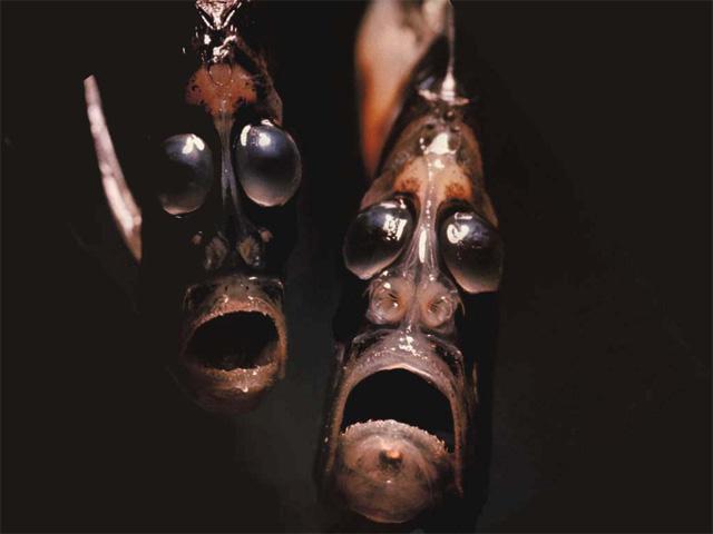 Fototeka e Forumit Hatchetfish