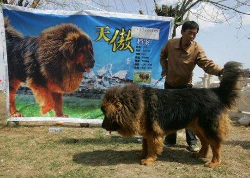 Quinteto vs Leão asiático A-Tibetan-mastiff-at-a-recent-Tibetan-Mastiff-exposition-in-Langfang-of-Hebei-Province-in-China
