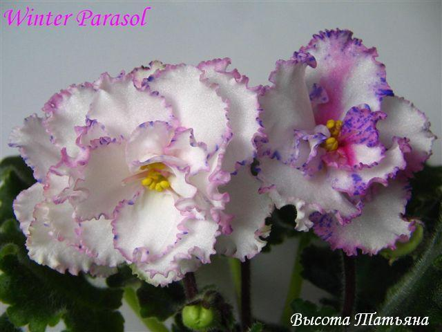Violete - Pagina 4 28514305_IGTLGFGDE