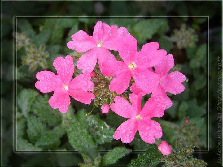 une plante à découvrir par blucat(29juillet)trouvée par sylvie 10-05_Verveine-rose
