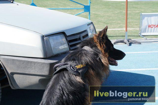 7- 8 сентября  фестиваль собак всех пород в г.Новосибирск Festival-vseh-porod-2013-77