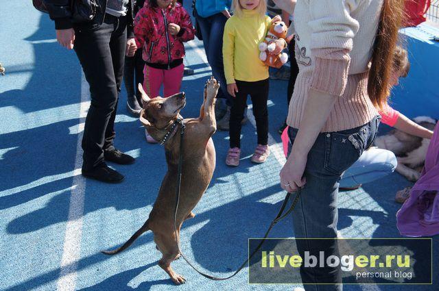7- 8 сентября  фестиваль собак всех пород в г.Новосибирск Festival-vseh-porod-2013-85