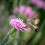 Macros/  proxi/  insectes  - Page 4 2018_09_27__150_79