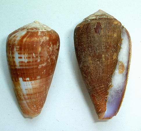 Cone à identifier Mozambicuslautus