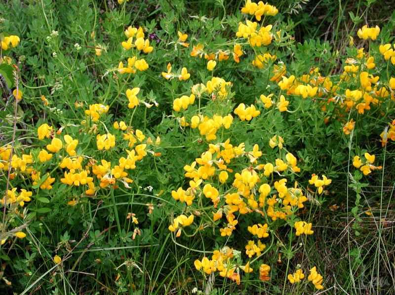 une plante - ajonc  - 18 aout trouvée par Martine 2008061437n_a