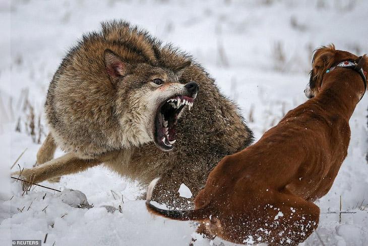17.12.1253 г. Идет охота на волков, идет охота (с) 00