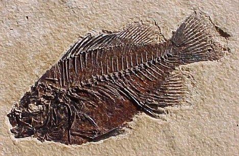 Fossil    الأحفورة    ..... الأحافير  Fossil-fish-1