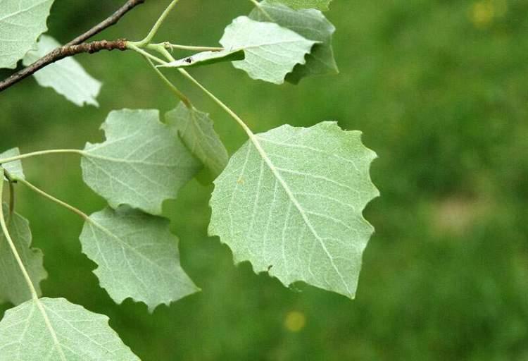 Εικόνες Φυτών... Populus-tremula2630