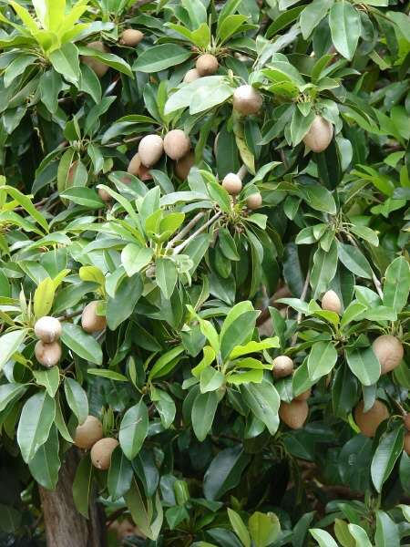 un fruitier pas de chez nous par blucat (10 juillet) trouvé par ajonc 03435-Chrysophyllum-cainito