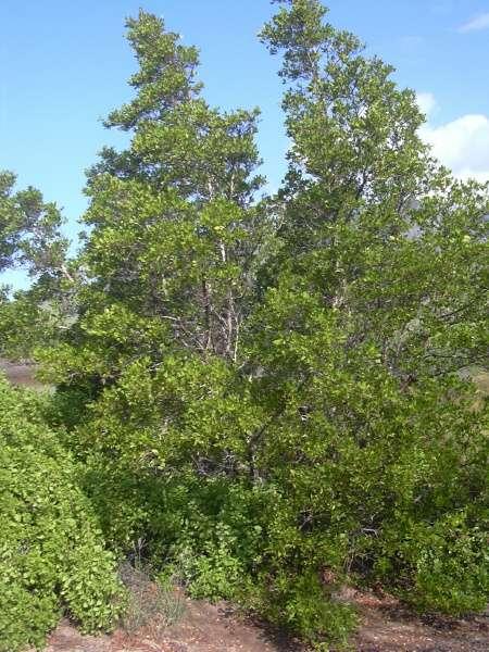 Conocarpus erectus 04084-Conocarpus-erectus