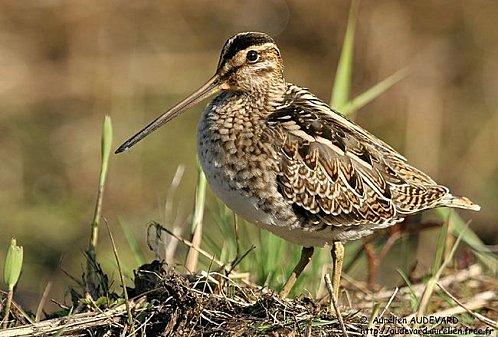 un oiseau - ajonc- 23 mars trouvé par Jovany La_b%E9cassine_des_marais