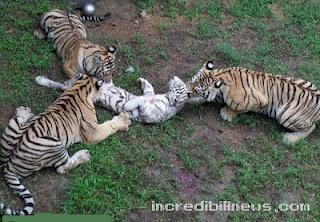 Le Meraviglie della Natura - Pagina 4 Tigri-mangiano-cucciolo-di-tigre-bianca-foto-L-2XmlRb