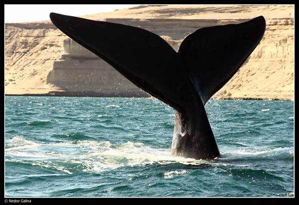 Le sommeil de la baleine BALEINE%20QUI%20PLONGE