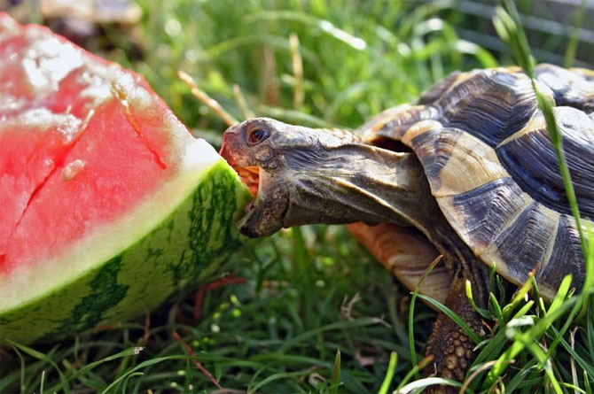 Insolite  animaux . - Page 4 Tortue%20melon