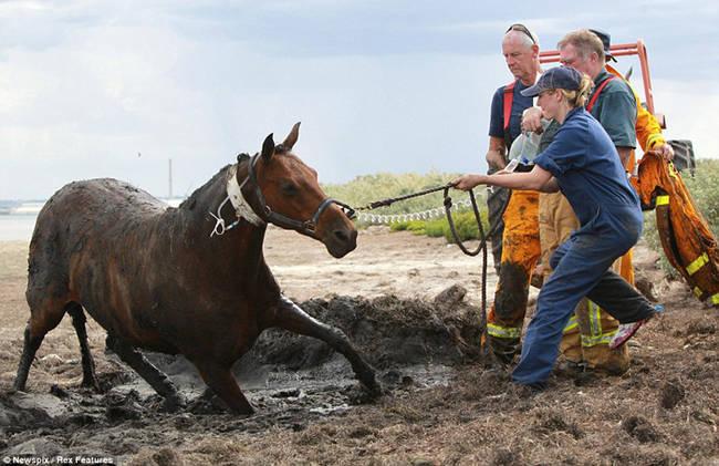Sauvetage d'un cheval HZFF9tTh