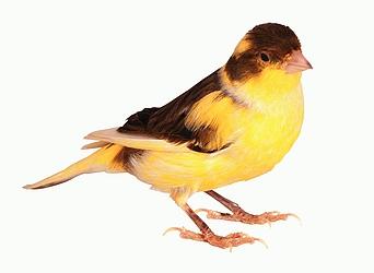 صورلاهم انواع طائر الكناري Canary-2140