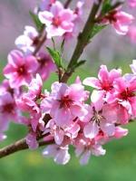 Аватары с цветами Thumbs_vesennie-cvety-12