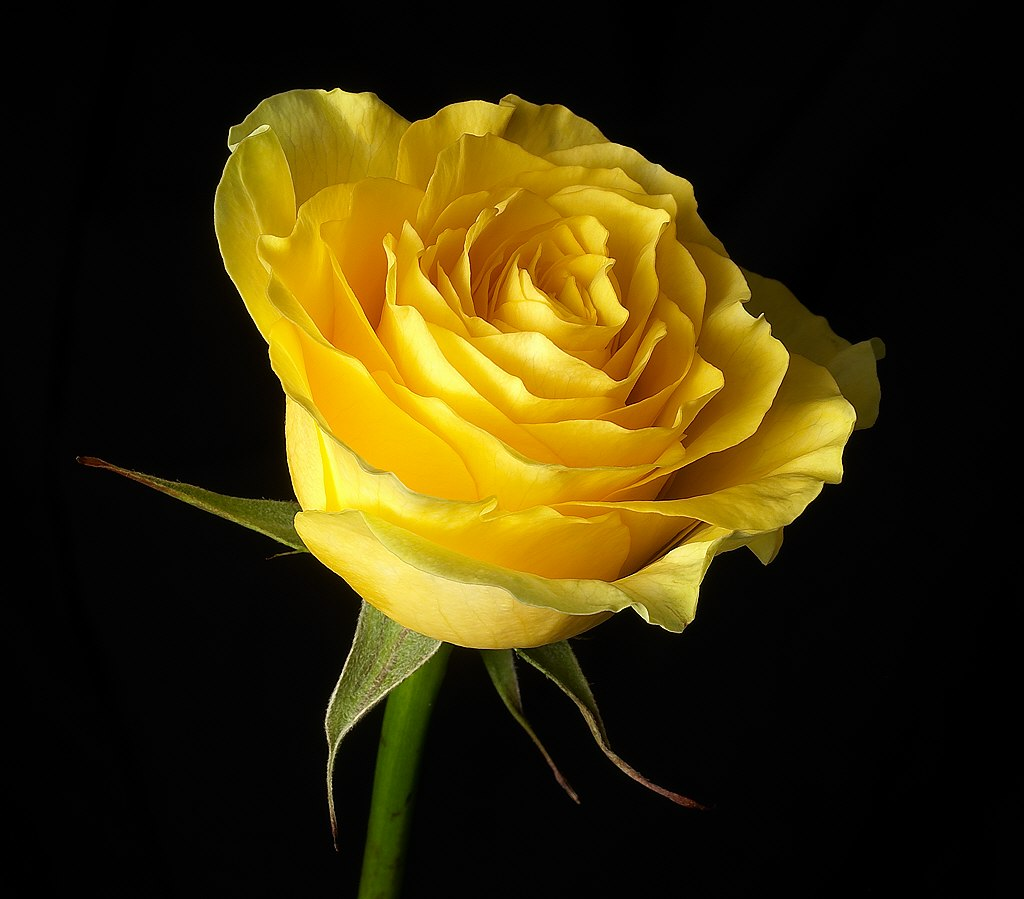 Magija žute Yellow-rose