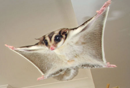 Tiny Dinosaur Unearthed Above Arctic Circle Sugar-glider