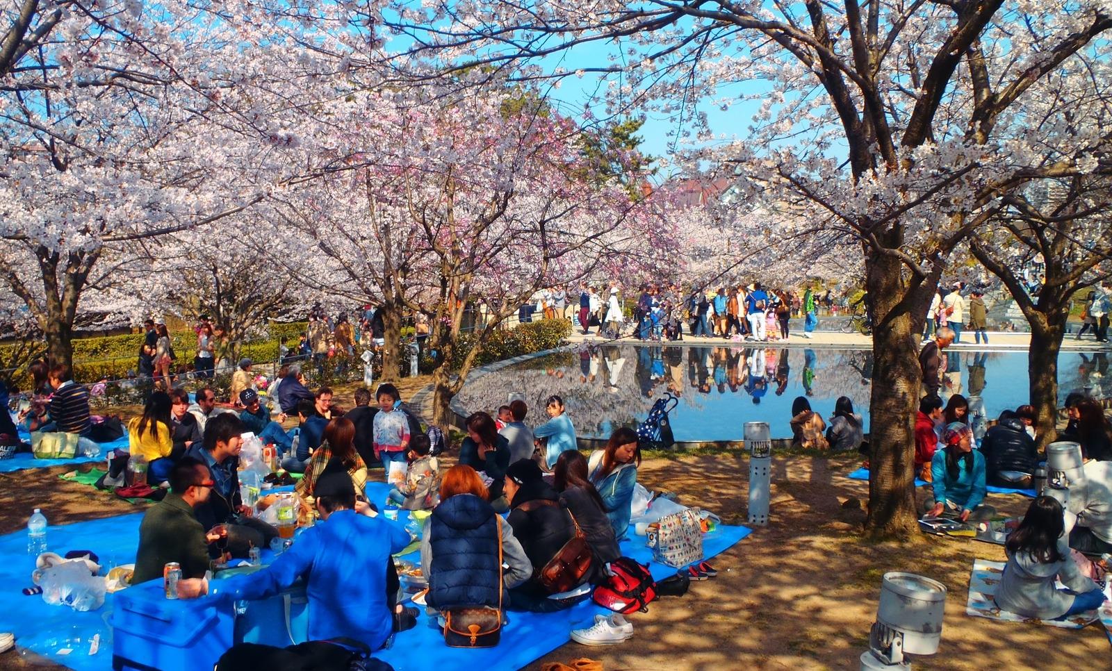 Les cerisiers en fleur ! Le Hanami. Hanami