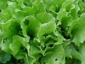 Vrste salata - pregled Lettuce061601