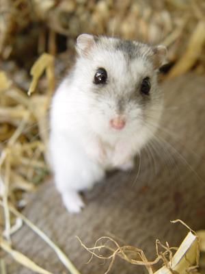 Hrčci - hrčak Hamster%20von%20oben