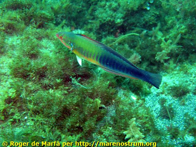 Knez (Coris julis) 17-Coris%20julis