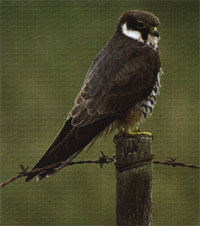 un oiseau à découvrir -ajonc- 6 janvier bravo Martine Faucon_hobereau