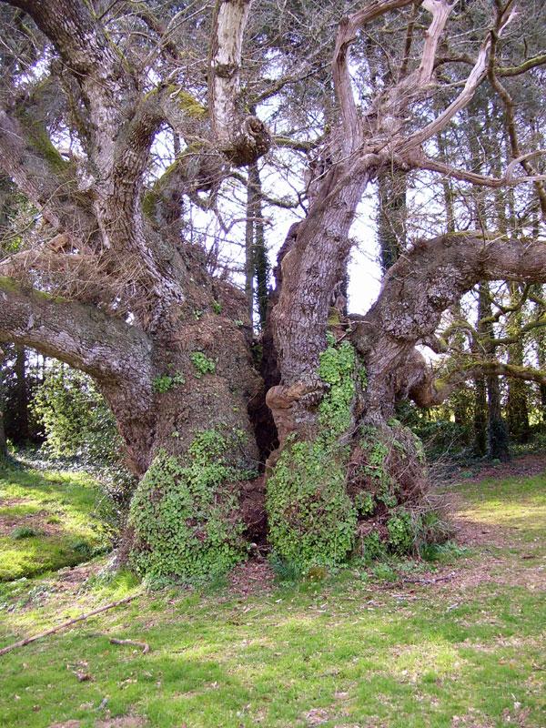 Chêne / Dervenn / Oak Tronjoly-chene2