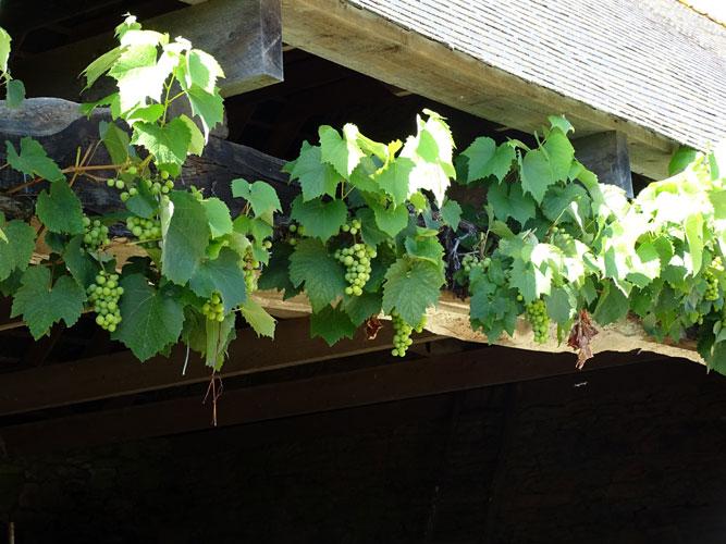 La vigne dans le nord-ouest de la Gaule - Page 2 Salle-grappe