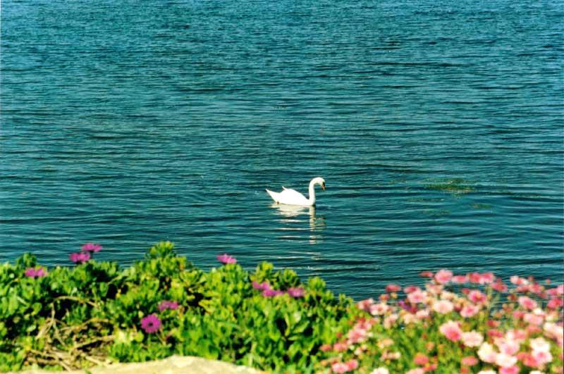 Le Cygne / An Alarc'h / The Swan Leon-d