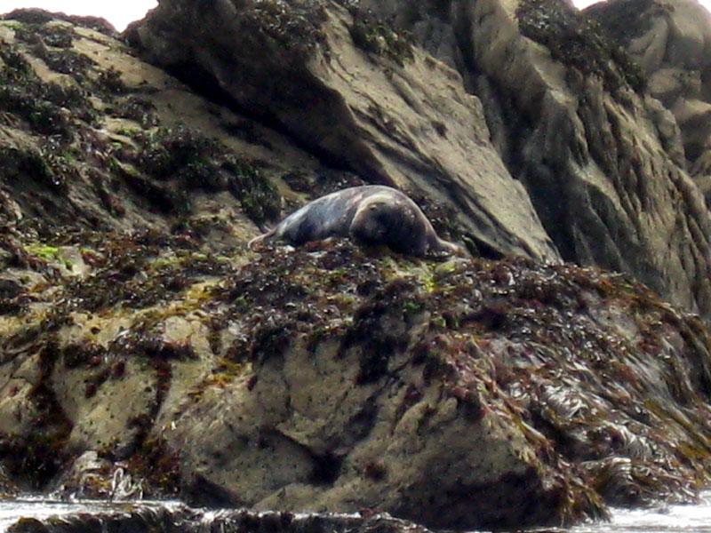 Phoque gris 7iles-phoque-1860