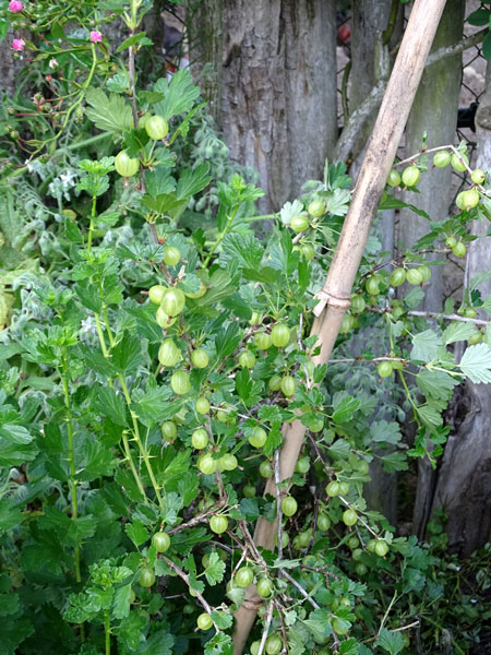 groseille, guernozelle, cassis, castille, Ribes uva-crispa, nigrum etc.  Groseilles-vertes