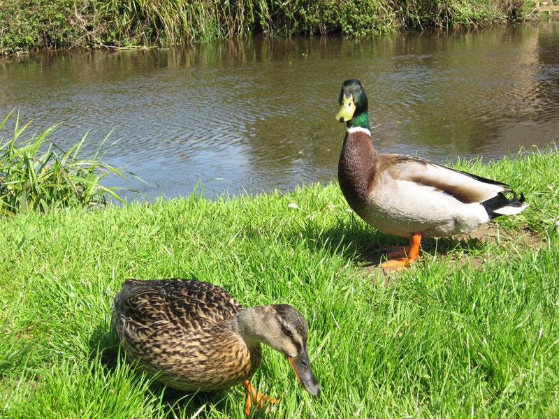 Canard / Houad / Duck Canards-0077-26042006