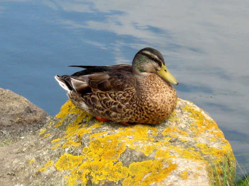 Canard / Houad / Duck Canards-penvern-0453
