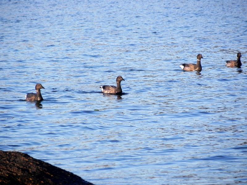 Canard / Houad / Duck Canards120