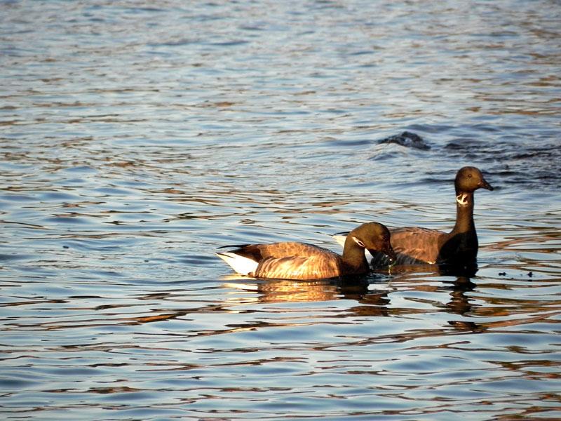Canard / Houad / Duck Canards122
